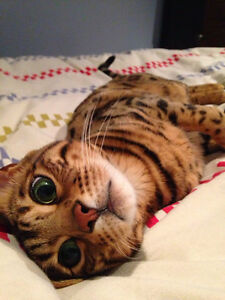 Gorgeous male Bengal needs a home