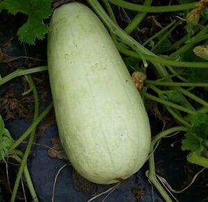 Marrow Long White Bush 2 - 15 seeds - Vegetable
