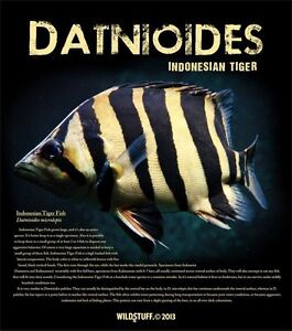 Indonesian Tiger fish - Datnoid