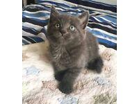 3 British blue shorthair cross kittens