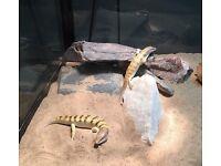 4 sandfish skinks
