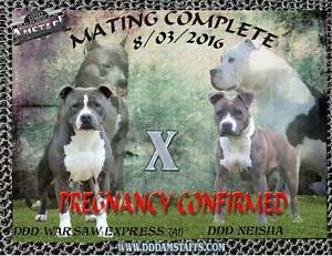 Pedigree American Staffordshire Terrier (Amstaff) Imported lines Lewiston Mallala Area Preview