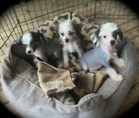 Chinese Crested Hairless & Powder Puff  Avail...
