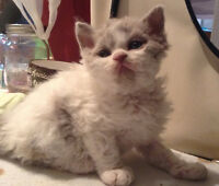 SELKIRK REX, CHAT MOUTON DISPONIBLE