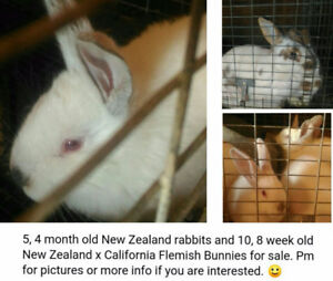 New Zealand and New Zealand X Flemish rabbits for sale!