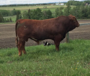 2 Red Simmental Bulls For Sale