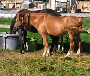 Reg Welsh x 5 year old mare - med size pony - finish her ur way London Ontario image 2