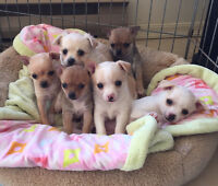 chihuahua puppies! 4 left! NEW video