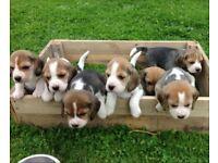 Stunning litter of foot beagle puppies