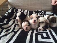 3 quarter shih tzu puppies