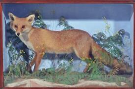 Taxidermy Fox in Glass Case