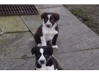 Border colllie pups for sale