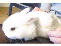 Friendly Baby Dwarf Lop Rabbits FOR SALE