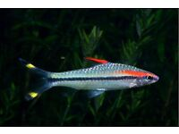 Red-Lined Torpedo Barb (Denison`s Barb) 100mm