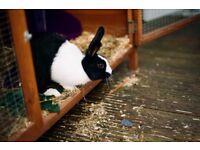 2 dutch rabbits need a new home