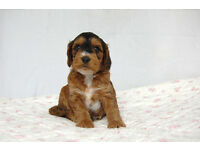 F1 Cockapoo Puppies for sale PRA clear KC parents Black Tri Health Tested Insured Vaccinated