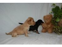 Cockapoo puppy for sale F1 Health Checked Vaccinated Cockerpoo puppies Wales cream tan black PRA