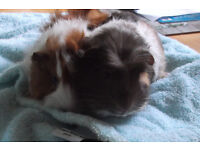 2 x Baby guinea pigs - Male