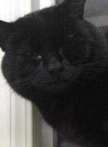 """Young Male Cat - Domestic Short Hair-black: """"Thumper"""""""