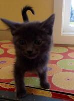 """Young Male Cat - Domestic Short Hair - gray and white: """"Jesse"""""""