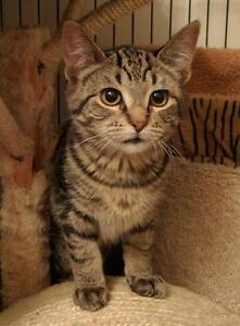 "Baby Female Cat - Domestic Short Hair-Tabby - Grey: ""Tiki"""