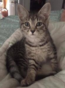 """Baby Female Cat - Domestic Short Hair-Tabby (Brown): """"Jelly"""""""