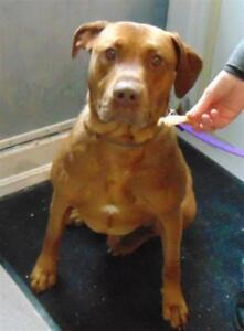 "Adult Male Dog - Boxer-Doberman Pinscher: ""Calloway"""