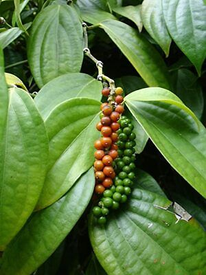 Black Pepper Plant / Piper Nigrum Live Stems for growing - 50 Stems
