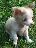 Chocolate/Red merle Chihuahua for sale!!!!