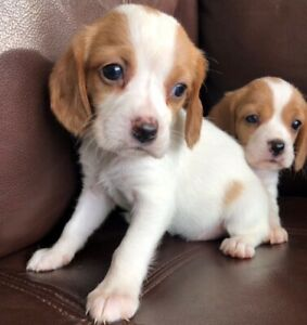 Beagle Puppy Puppies Adopt Dogs Puppies Locally In Canada