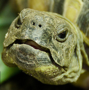 I am looking for a Hermann's tortoise