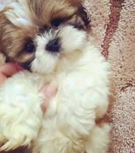 A couple looking for a baby Shih tzu puppy