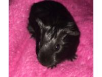 Beautiful baby sow guinea pig