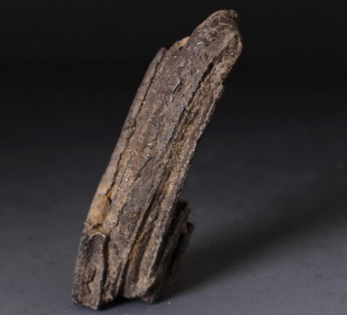 2 Merge Coryphodon Big Tooth fossil! collectible!