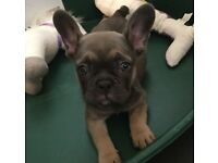 8 Week Old French Bulldog Puppy - Blue Tan