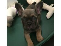 8 week old French Bulldog Puppy - Blue Tan [Will consider sensible offers]