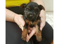 Yorkshire terrior pup bitch