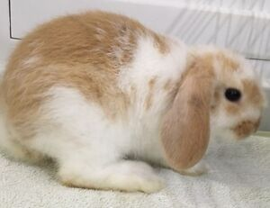 Mini Lop Rabbit & Cage Stanhope Gardens Blacktown Area Preview