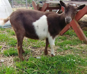 Registered Nigerian Dwarf Goat Doe