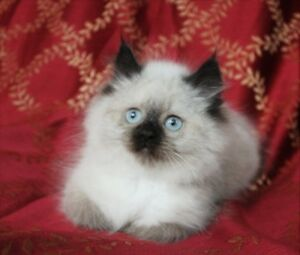 Persian Himalayan Female Kittens for Adoption