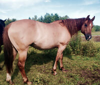 Registered QH Mare for Sale