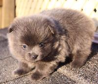 Pretty Pomeranians