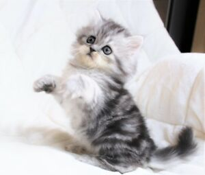 Beautiful Persian kittens are ready for adoption.