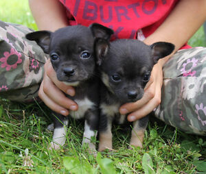 Chihuahua pups READY NOW! 2 females left