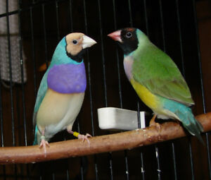 Proven Breeding pair Red Head Gouldians
