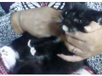 Black and white male kitten for sale