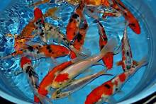 large koi online and in store now under $200 Windsor Hawkesbury Area Preview