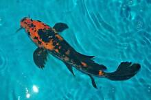 New Koi  instore from $20 Windsor Hawkesbury Area Preview