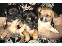 Beautiful Chihuahua X Jack Russel puppies