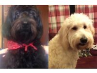 Gorgeous F2b Labradoodle Puppies